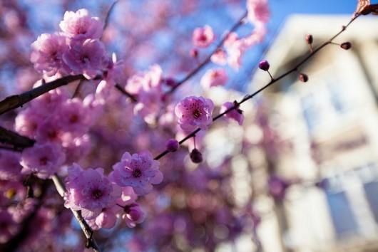 blossom-home background