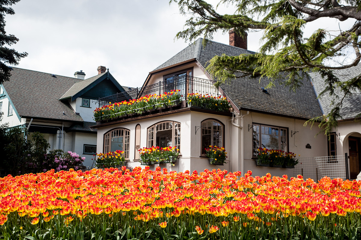 tulips in front of house