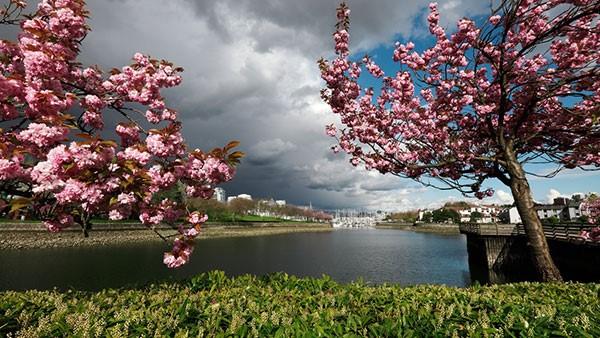 cherry blossoms false creek water